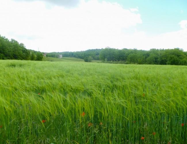 Chemin-Compostelle-Lot-champs-blé-nature