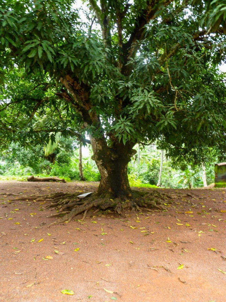 arbre-afrique-racine