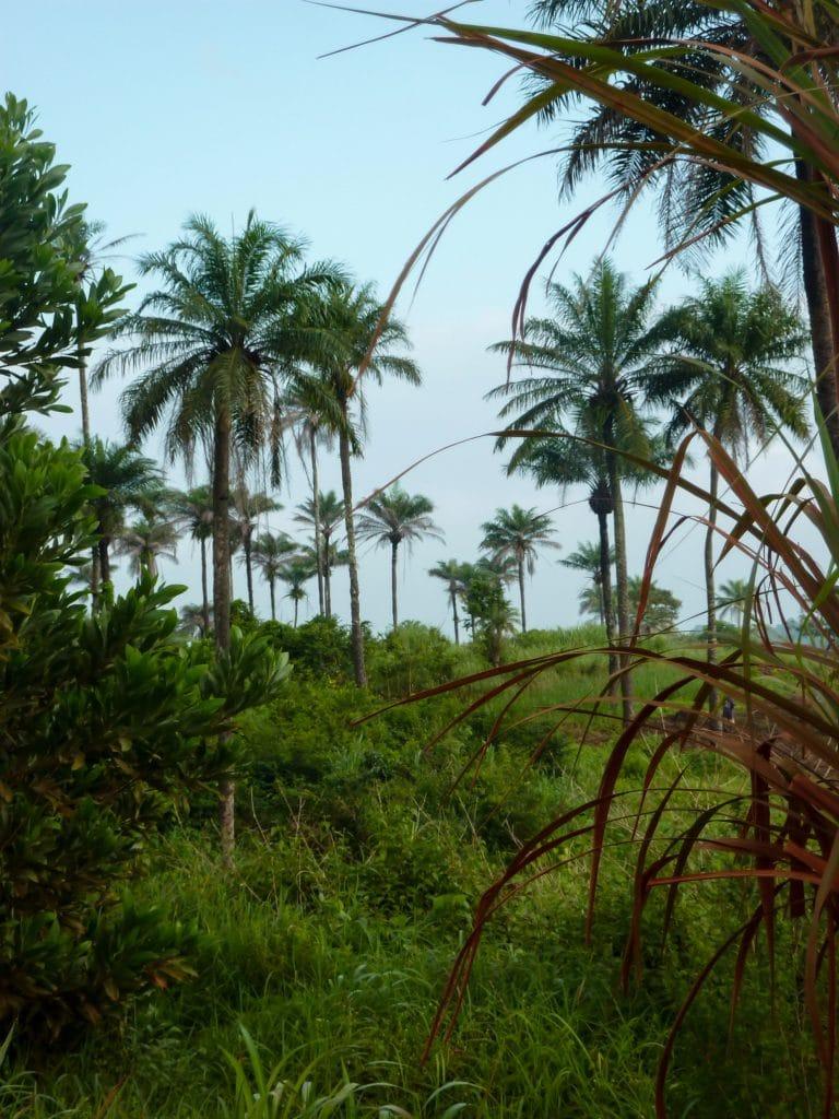 palmerais-sierra-leone-afrique