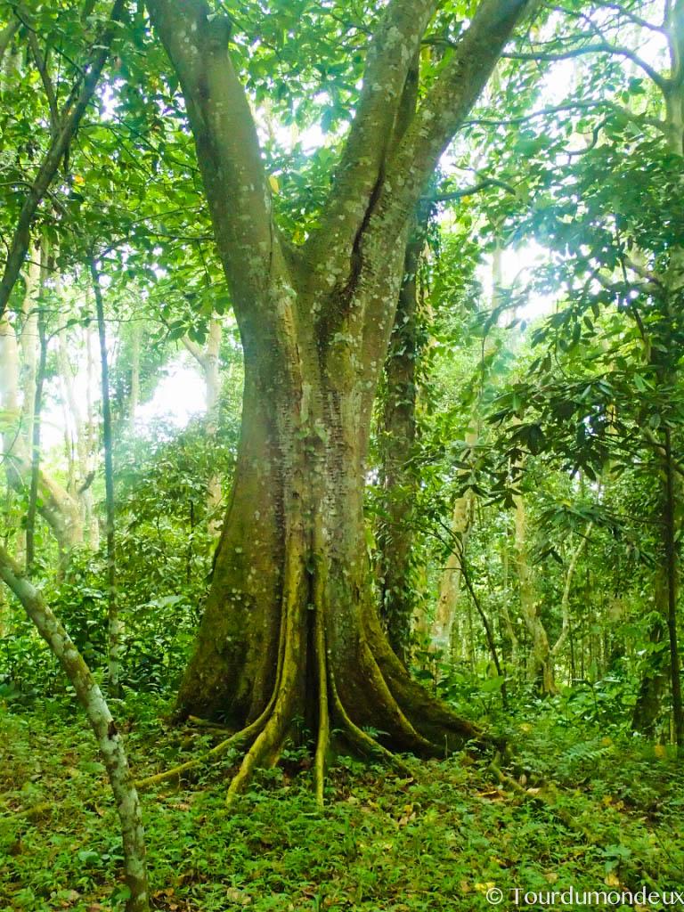 arbre-tetebatu-forêt