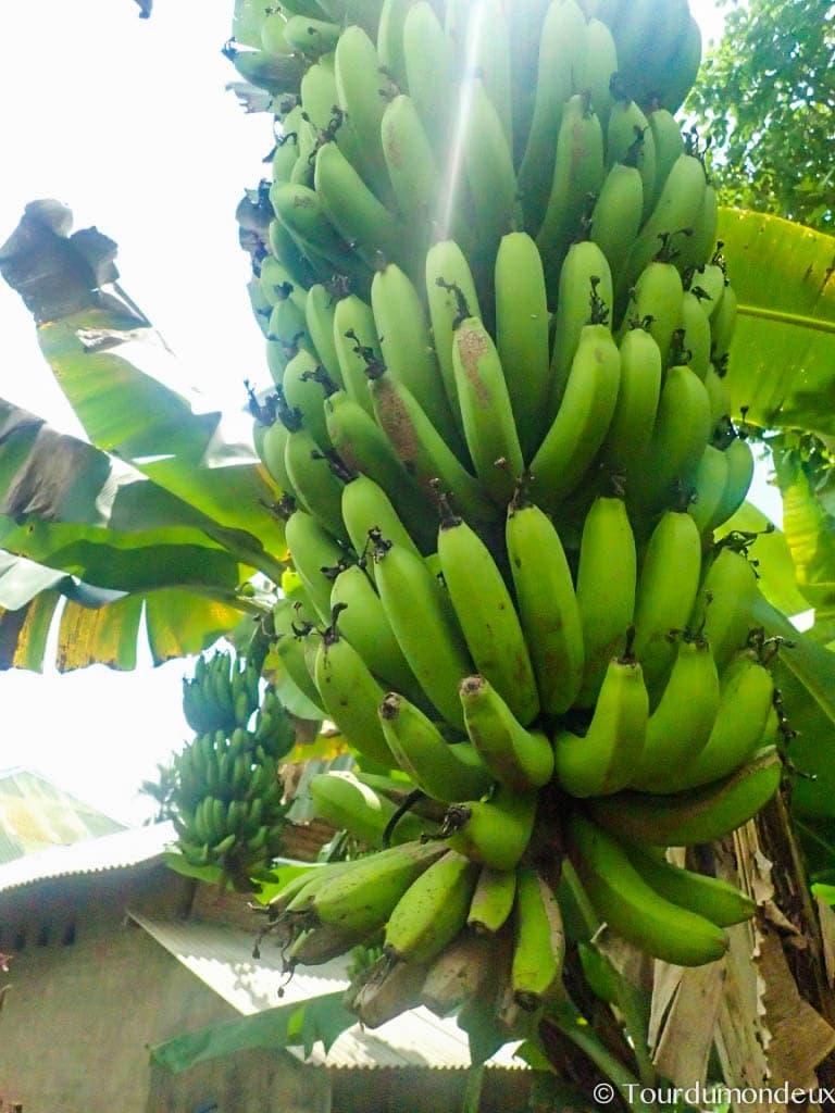 bananier-lombok-indonésie