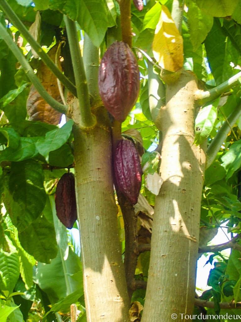 cacao-lombok-arbre