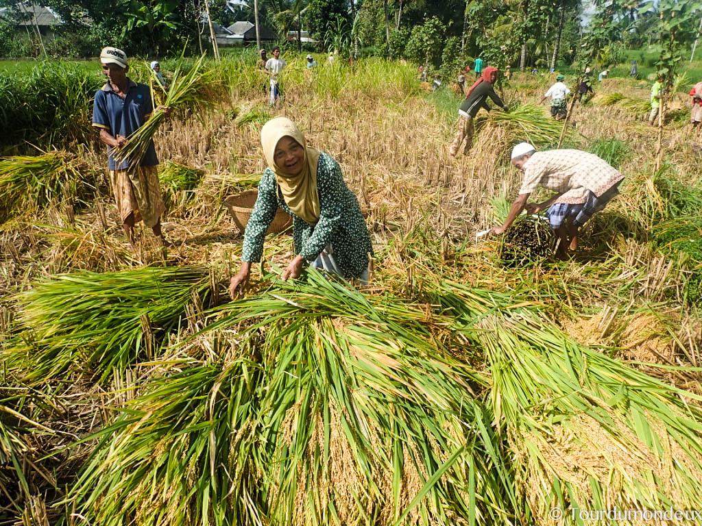 riz-paysan-tetebatu-recolte-lombok