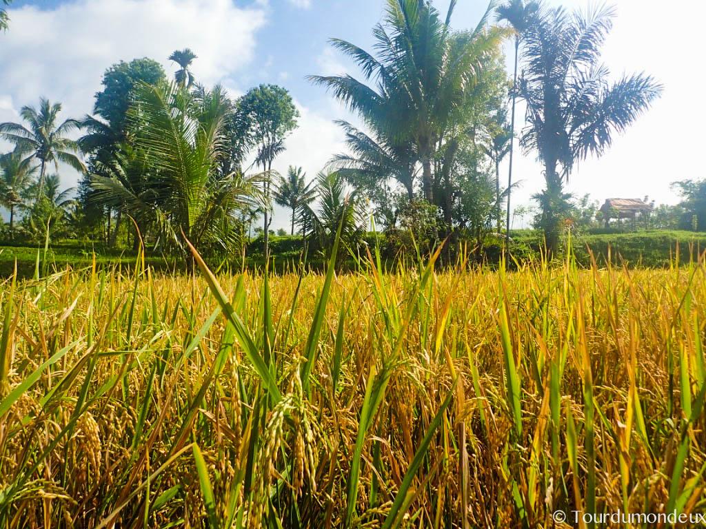 riz-recolte-tetebatu