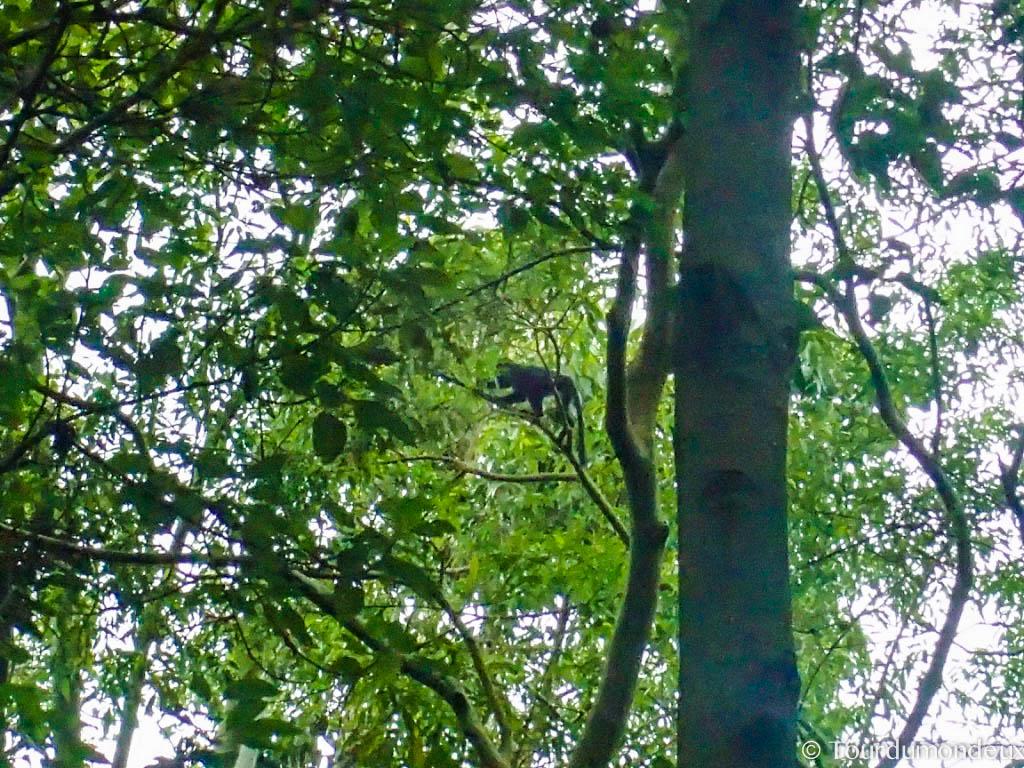 singe-noir-tetebatu-lombok
