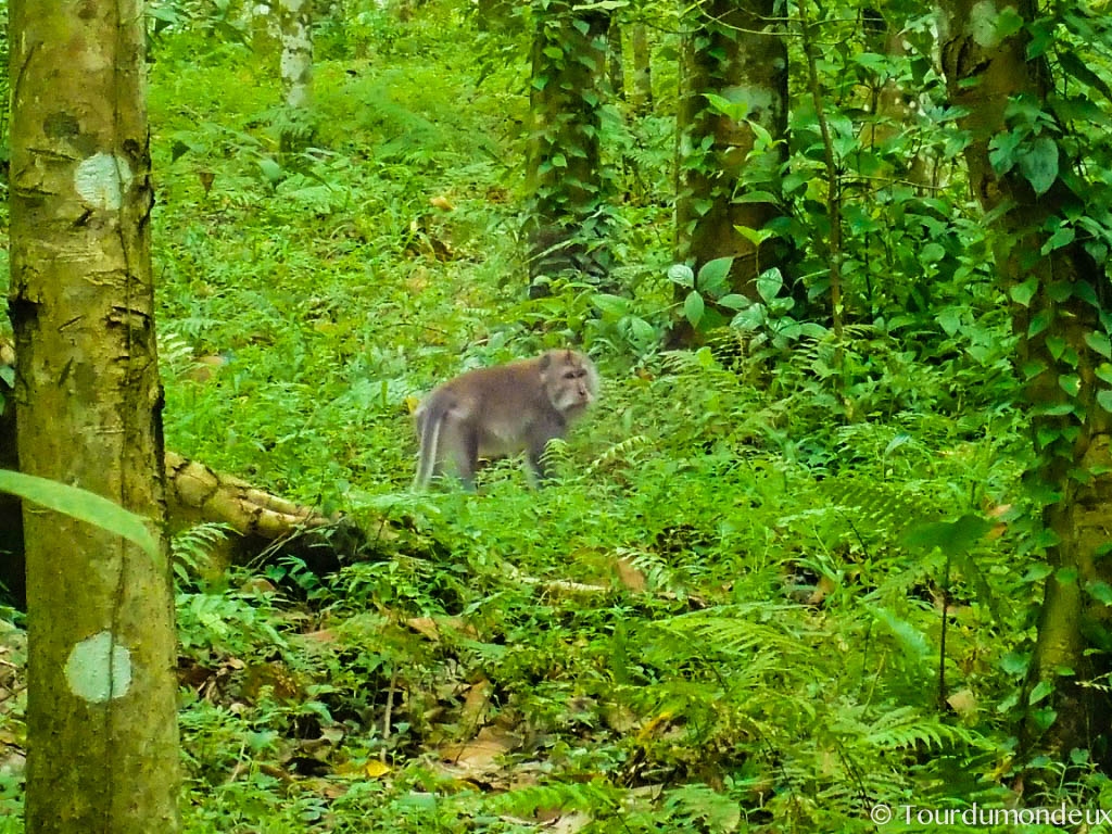 tetebatu-macaque-lombok