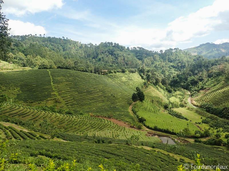 vue-champs-thé-thaïlande