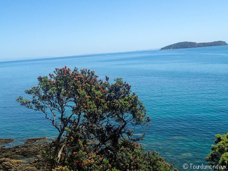 coromandel-arbre-mer-nouvelle-zelande