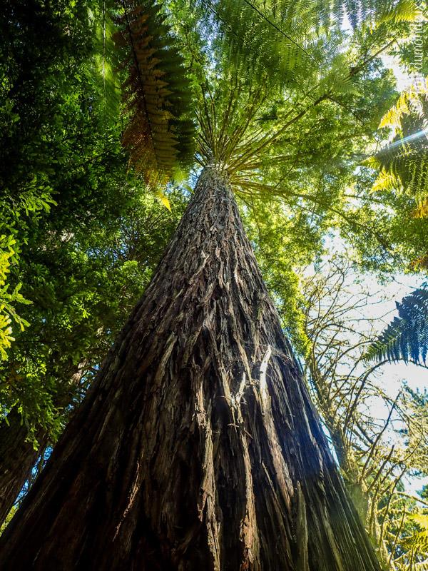 redwoods-arbre-nouvelle-zelande