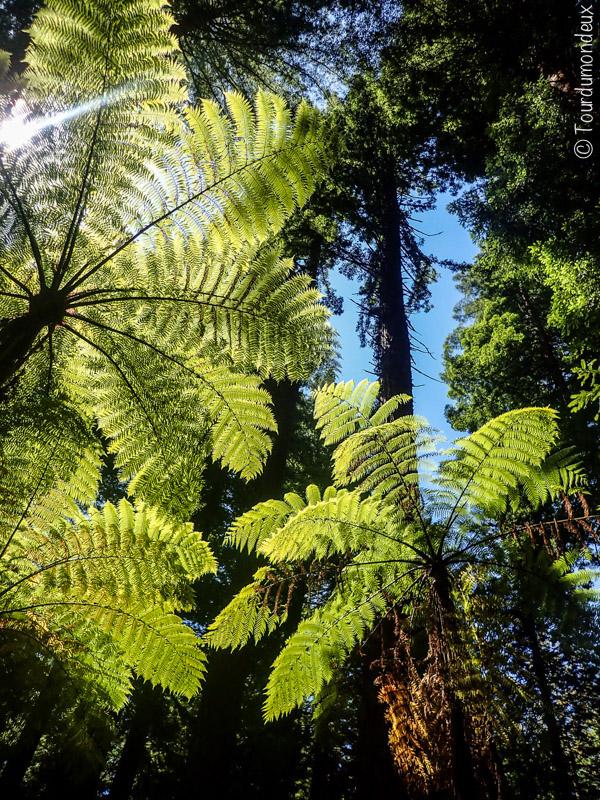 redwoods-vegetation-nouvelle-zelande