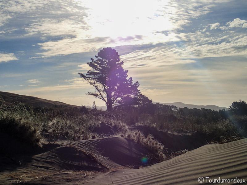 Porangahau-arbre-sable-nouvelle-zelande