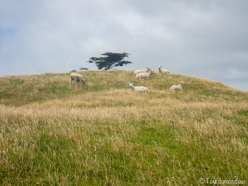 cap-farewell-mouton-nouvelle-zelande