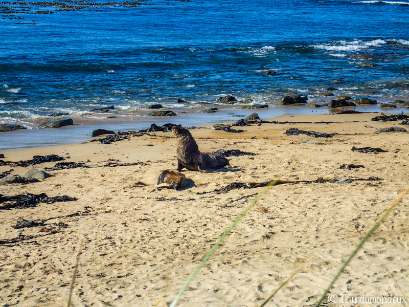 lion-mer-couple-nouvelle-zelande