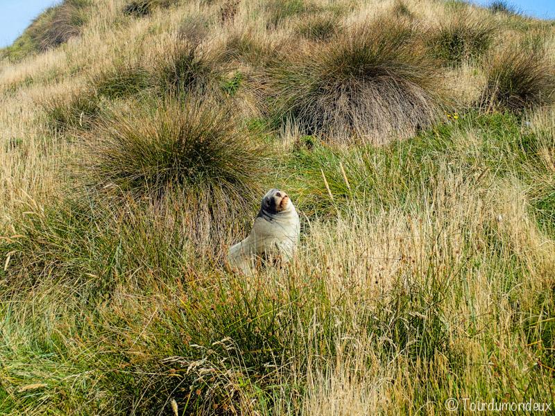 lion-mer-herbe-nouvelle-zelande