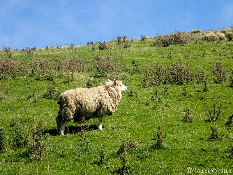 mouton-nouvelle-zelande