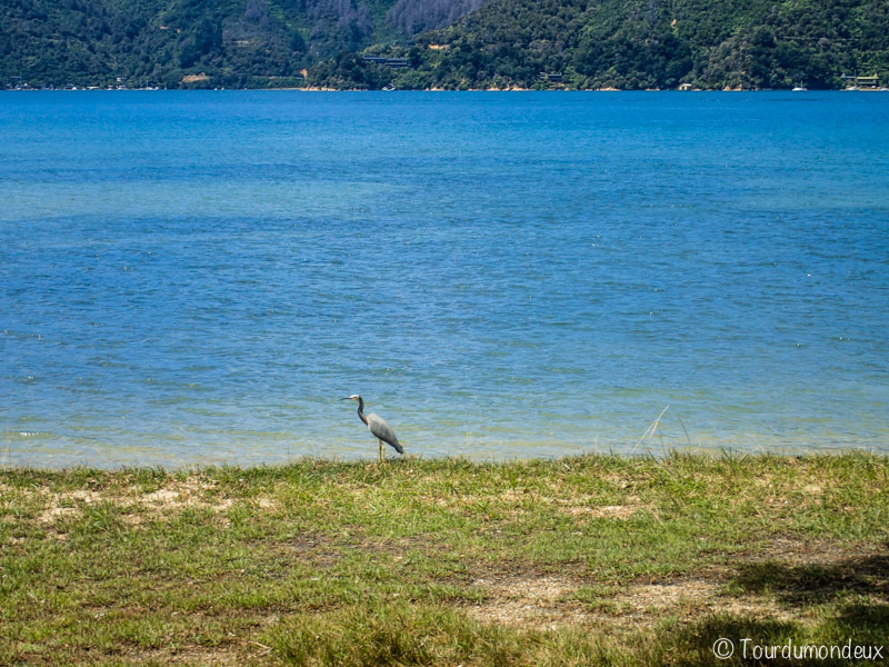 oiseau-malborough-nouvelle-zelande