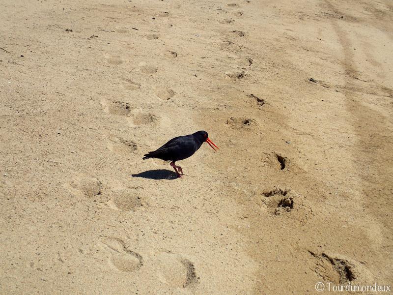 oiseau-noir-nouvelle-zelande
