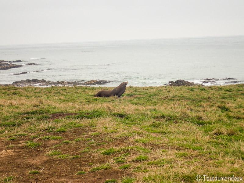 phoque-herbe-nouvelle-zelande