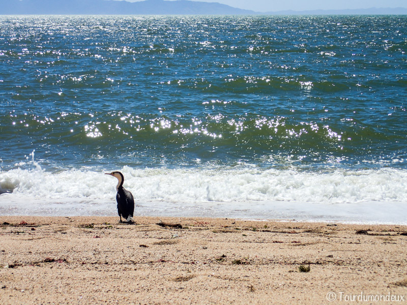 pingouin-oiseau-nouvelle-zelande