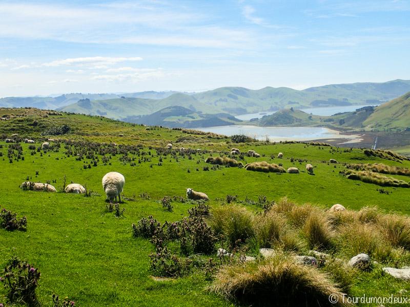 sandymount-moutons-nouvelle-zelande