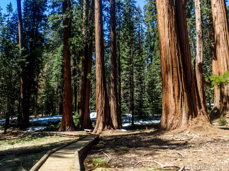 big-tree-track-californie