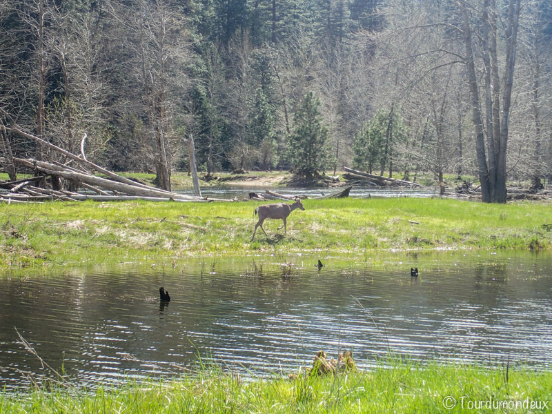 yosemite-biche-californie