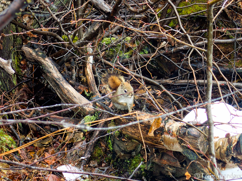 écureuil-grands-jardins-québec