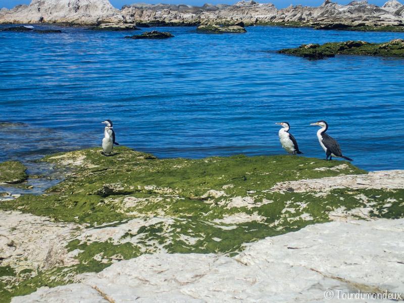 kaikoura-oiseaux-nouvelle-zelande