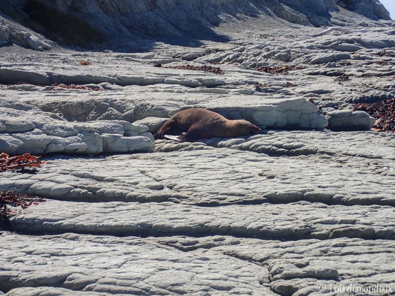 kaikoura-phoque-nouvelle-zelande