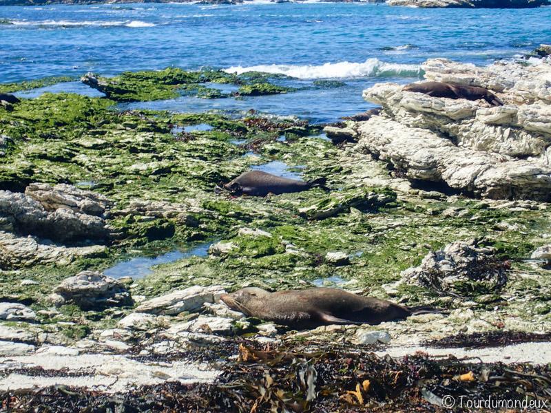 kaikoura-phoques-nouvelle-zelande