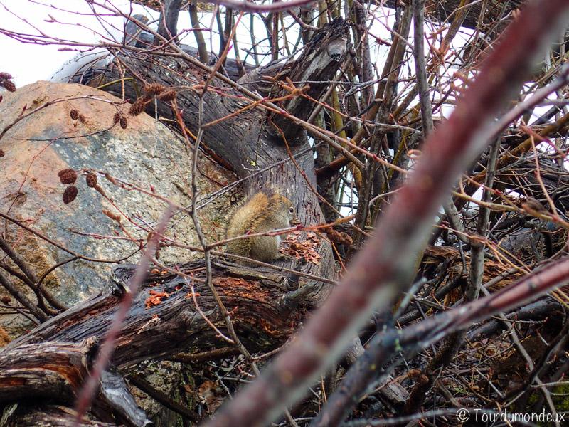 écureuil-québec-saint-laurent