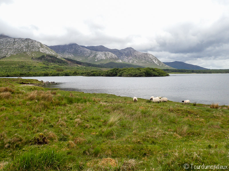 connemara-moutons